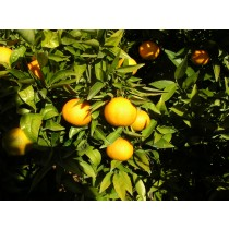 Mandarina Hernandina 10kg.