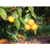 Mandarina Hernandina 5kg