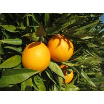 "Taronja Sucrenya o "" Imperial"" 1kg"