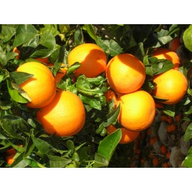 Taronja Navelina Taula 15kg