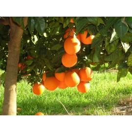 Taronja Navelina Taula 10kg