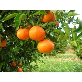 Mandarines Format familiar 15kg