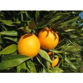 "Naranja Sucreña o "" Imperial"" 5kg"