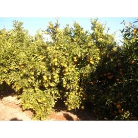 Mandarinas Hernandina 10kg