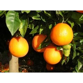 Naranja Navelina Mesa 10kg